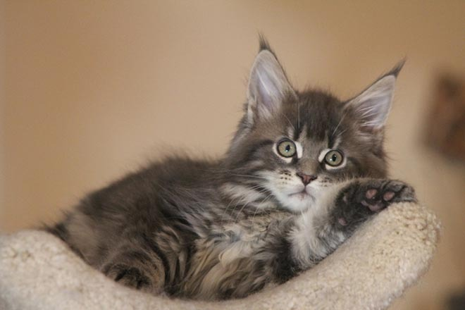 Where To Find Free Maine Coon Kittens