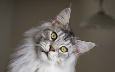 Maine Coon Temperament (Are They Friendly?)