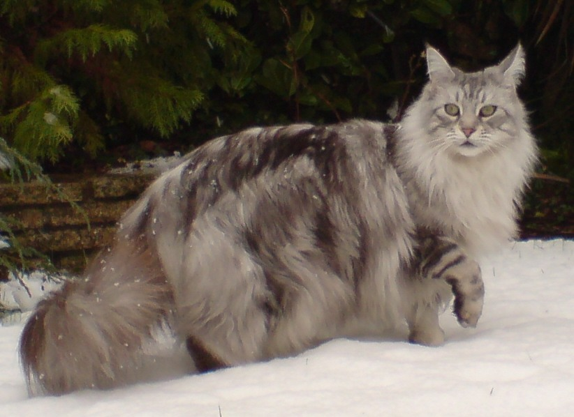 What is the Average Maine Coon Lifespan?