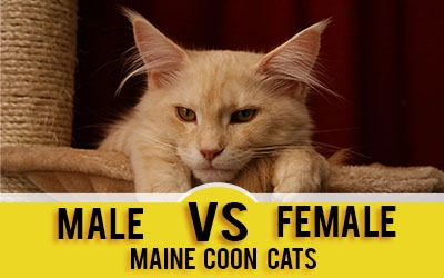 Male vs. Female Maine Coons