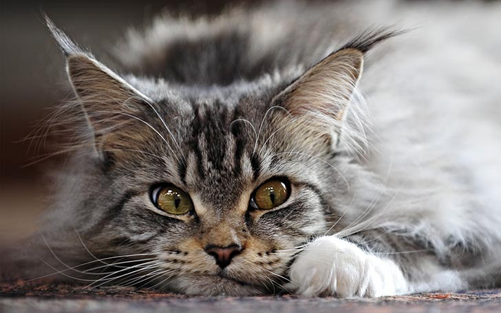 7 Fun Facts About Maine Coon Cats